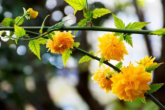 Zákula japonská (Kerria japonica) má atraktivní zelené pruty.