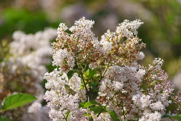 Aby se šeřík nevyčerpával tvorbou plodů, odstraňte nevzhledná odkvetlá květenství.