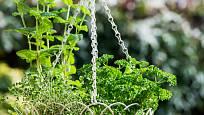 Bylinky lze pěstovat i v závěsných nádobách.