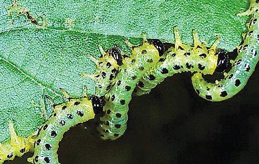 housenice pilatek (Croesus septentrionalis)