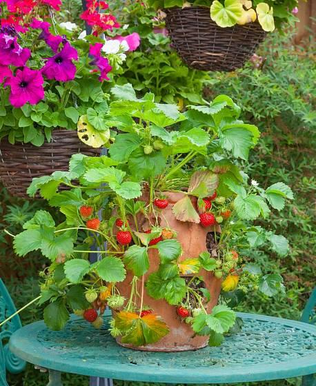 Kaskádové pěstování jahod je výtečné pro zachování čistoty plodů.