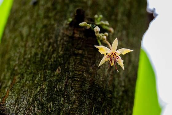 Květy kakaovníku pučí přímo z kmene. Pro nás velmi nezvyklé, v tropech nijak výjimečné