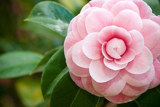 kamélie (Camellia)