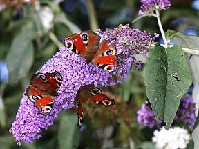 komule zvaná motýlí keř přiláká na zahradu motýly