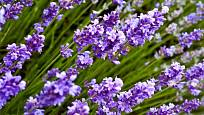 Kříženec lavandin vyniká bohatým květenstvím
