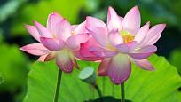 Lotos posvátný zvaný nilská růže