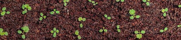 semenáčky měsíčních jahod