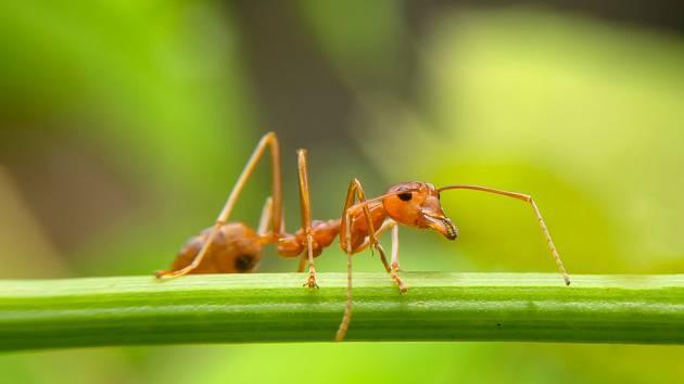 Mravenci dokáží znepříjemnit život několika způsoby.