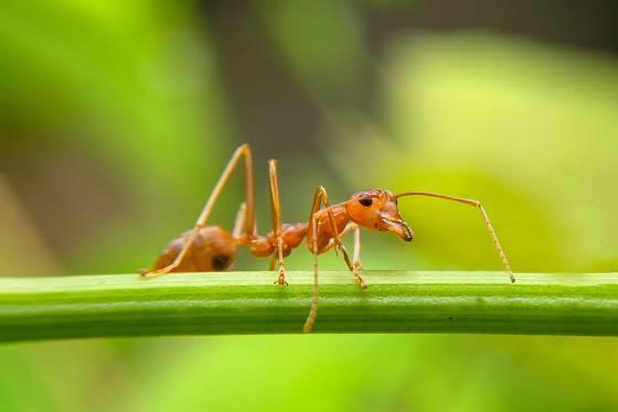 Mravenci čile vyhledávají vše, co by se mohlo stát potravou pro jejich larvy.