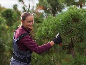 odebírání řízků z borovice