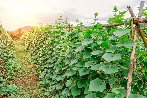 Okurky jsou popínavé rostliny, pěstujeme je proto na opoře
