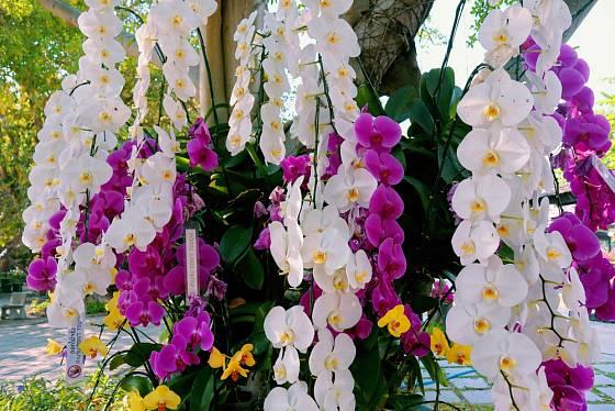 Aby orchideje krásně kvetly, podpořte je pravidelným hnojením.