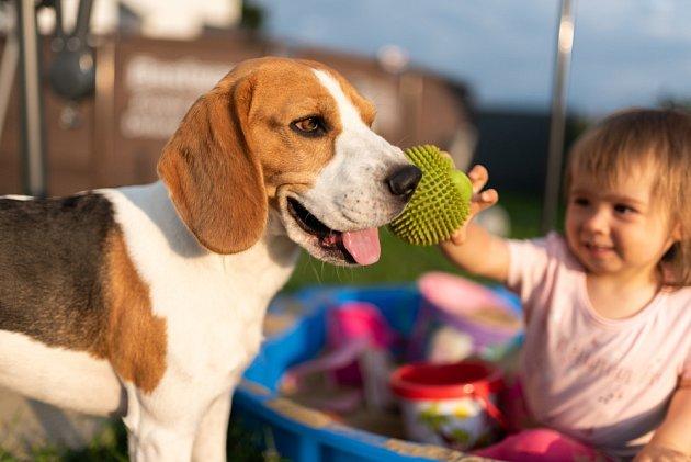 Bígl patří do skupiny psů oblíbených jak u dětí, tak u jejich rodičů.