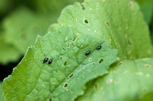 V listech rostlin vykusují drobné okrouhlé jamky nebo otvory a při silnějším přemnožení mohou mladé rostliny zcela zdevastovat.