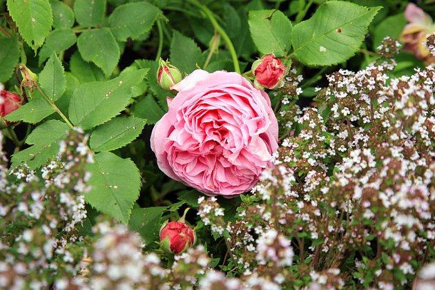 růže stolistá a tymián