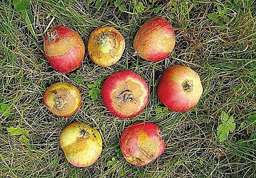 Rzivost jablek.