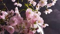 Větvičky sakury jsou vev váze okouzlující, k rychlení se velmi hodí