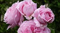 Růže odrůdy Rosengräfin Marie Henriette