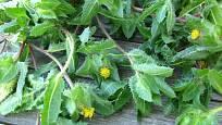 Sklízet můžeme rozkvétající i kvetoucí nať benediktu lékařského