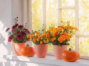 Chryzantémy: Jak se o ně postarat