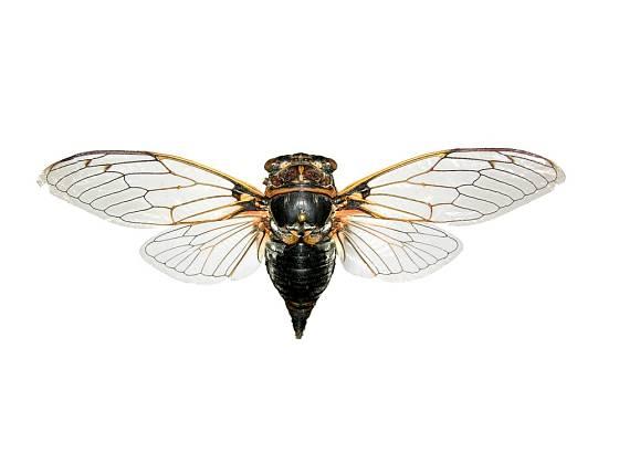Cikáda obecná (Lyristes plebejus)