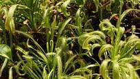 Drosera capensis pěstovaná na místě s nedostatkem světla