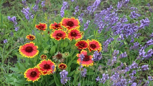 Gaillardia aneb kokarda je vhodná pro kombinaci v záhonech s levandulí.