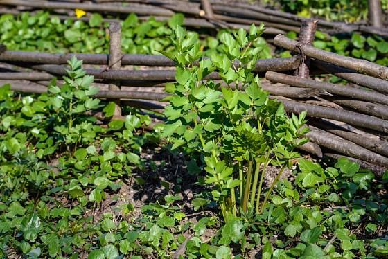 Libeček patří k velmi rychle rostoucím bylinkám.