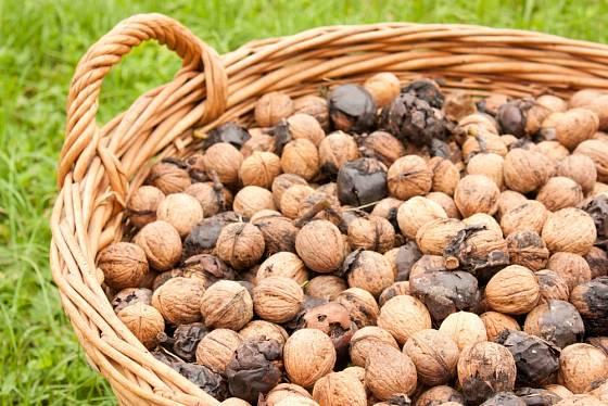 Sklizené ořechy.