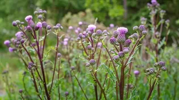 pcháč oset (Cirsium arvense)