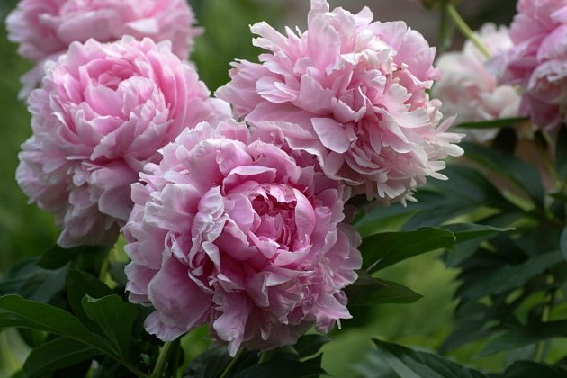 Mnoho zahradních pivoněk je odvozeno od druhu Paeonia lactiflora