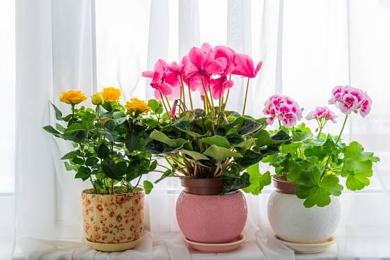 Miniaturní růže, brambořík a muškát.