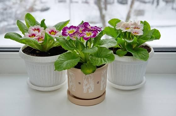 Primulky v zimě umístíme na okenní parapet.