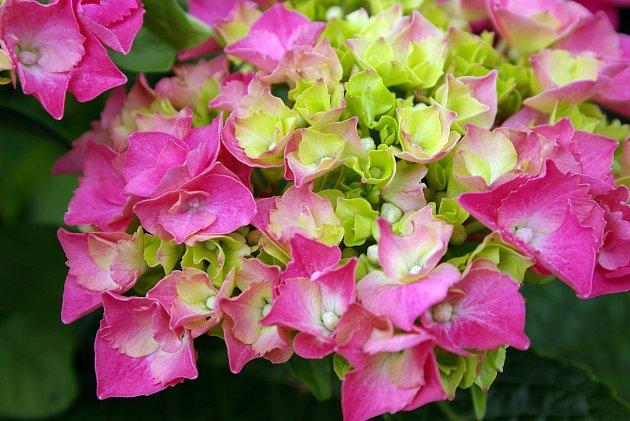Hortenzie velkolistá - můžete sehnat jakoukoli barvu, nebo si ji 'vytvořit'
