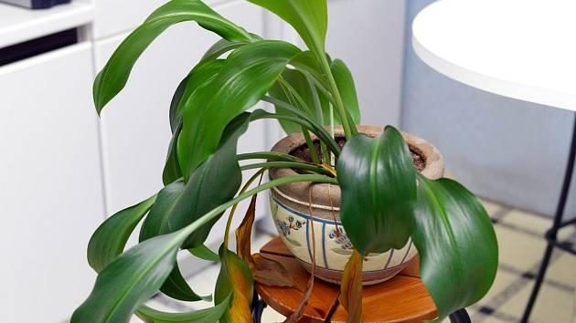 Žloutnoucí listy u našich pokojových rostlin nejsou neřešitelný problém
