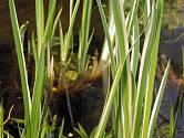 Puškvorec obecný 'Variegatus' má atraktivní zelené listy s bílými pruhy.