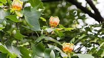 Liliovník tulipánokvětý (Liriodendron tulipifera)