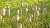 Zrající porost - odrůda Černý mák