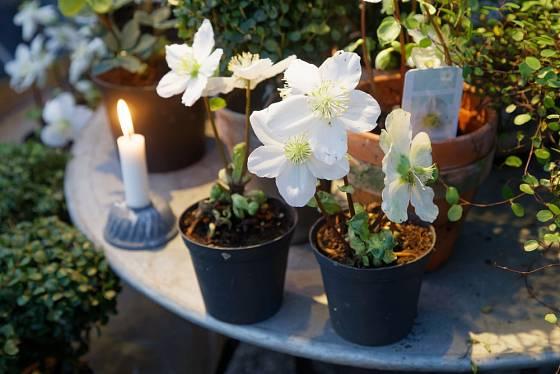 Čemeřice černá (Helleborus niger) si vysloužila přezdívku vánoční růže.