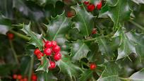 Cesmína ostrolistá (Ilex aquifolium)