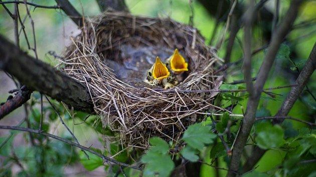 V keřích hnízdí mnoho druhů pěvců