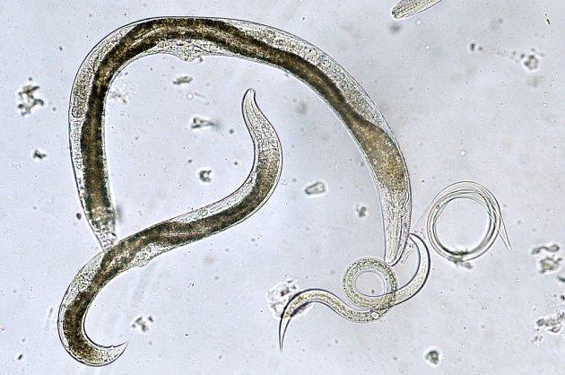 S likvidací smutnic pomohou také parazitické hlístice.