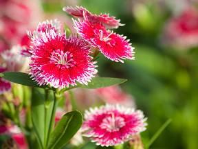 Hvozdík (Dianthus)