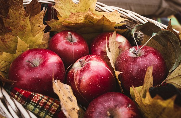 Sklízíme poslední jablka