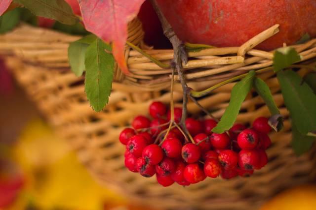 Jeřabiny jsou někdy neprávem opomíjeným ovocem, navíc zdraví prospěšným.