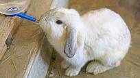 Vodu v napáječce králíci neznečistí a mláďata se omylem nenamočí