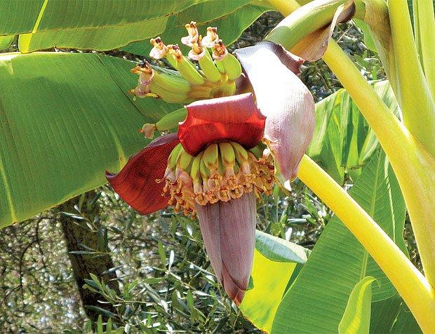 květenství banánovníku