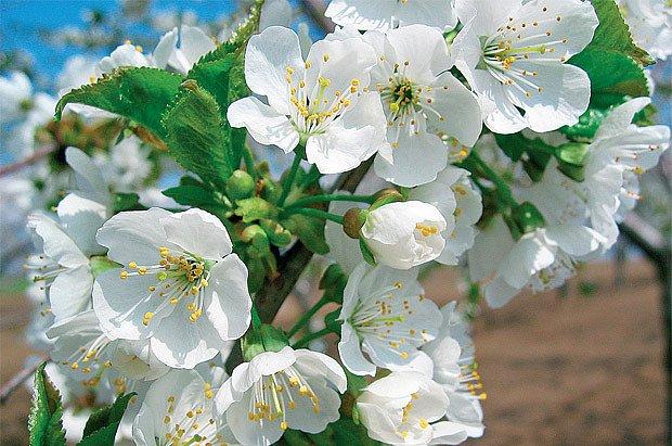 Třešně jsou prvním ovocem sezóny