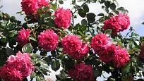 Laguna (Kordes, Německo, 1994). Husté, temně růžově načervenalý květ je asi 9 cm velký a voní; výška růže 3,5 m. Opakovaně kvetoucí