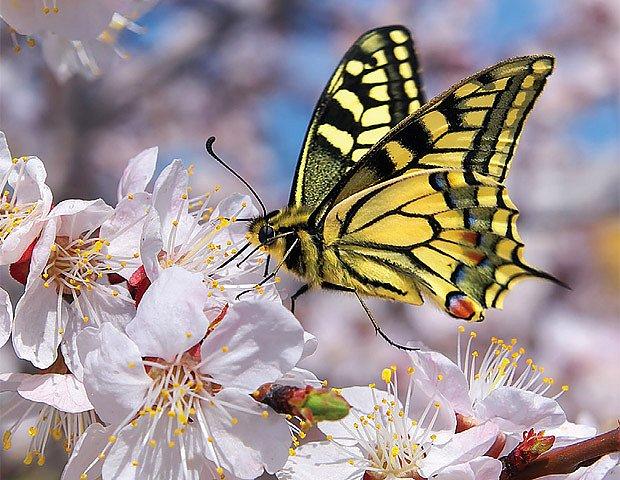 Někteří motýli od nás před zimou do teplých krajů.